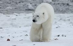 북극곰 멸종위기와 미국 텍사스 한파, 같은 이유라고요?