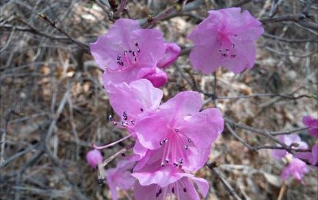 연분홍 꽃물 든 산... 진달래에 취해 멀미가 나네