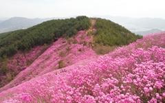 연분홍 진달래에 불타는 천주산