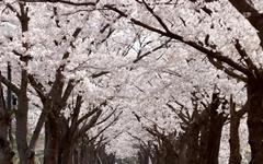 벚꽃 떨어진 거리의 '또 다른 낭만'