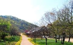[사진] 길 옆으로 노오란 꽃, 지금만 볼 수 있어요