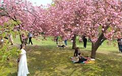 [사진] 활짝 터트리니 정말 아름답구나! 불국사 겹벚꽃
