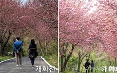 [사진] 문수사·개심사 왕벚꽃 개화... 화려함 뽐내