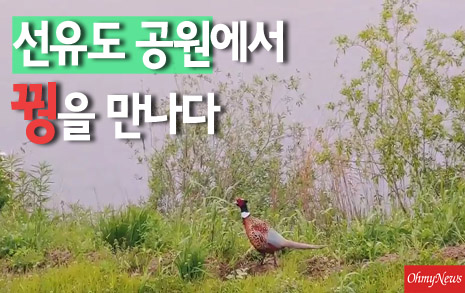 """[영상] """"저 까투리 아니에요"""" 선유도공원에서 만난 수컷 꿩"""