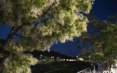 만개한 이팝나무... 올해 농사 풍년이려나