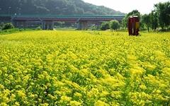 [사진] 노란 유채꽃이 춤추는 곳, 제주도가 아닙니다