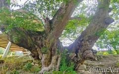 """""""수령 400년 '희소성 매우 높은' 푸조나무 발견, 보호 시급"""""""