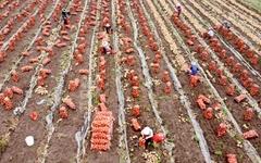 [의령] 궂은 날씨에도 '양파' 수확 한창