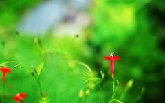 [사진] 영원히 사랑스러운 꽃 '유홍초'