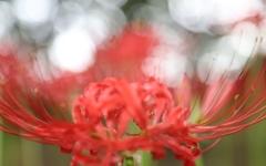 [포토] 가을 알리는 붉은 물결, 꽃무릇 활짝