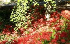 가을의 문턱에서 꽃무릇을 만나다