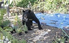 곰과 함께 살아가는 밴쿠버