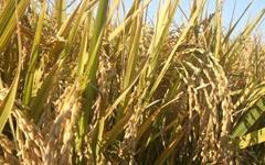 막걸리를 만드는 쌀은 왜 수입쌀이 많은가?