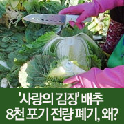 '사랑의 김장' 배추  8천 포기 전량 폐기, 왜?