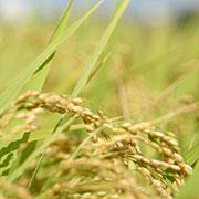 사약 만들던 독극물 비소 왜 미국쌀에 들어가 있지?