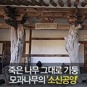 죽은 나무 그대로 기둥 모과나무의 '소신공양'