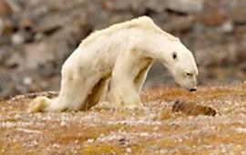 북극곰 한 마리가 세계 누리꾼 울렸다