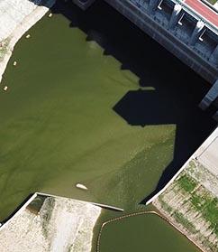 짙은 녹조, 영주댐의  이 물을 누가 먹나