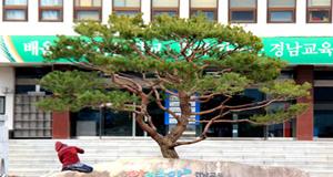 경남교육청 중앙화단, 향나무→소나무 교체해 심어