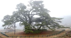 '봄을 기다리는'  천연기념물 소나무