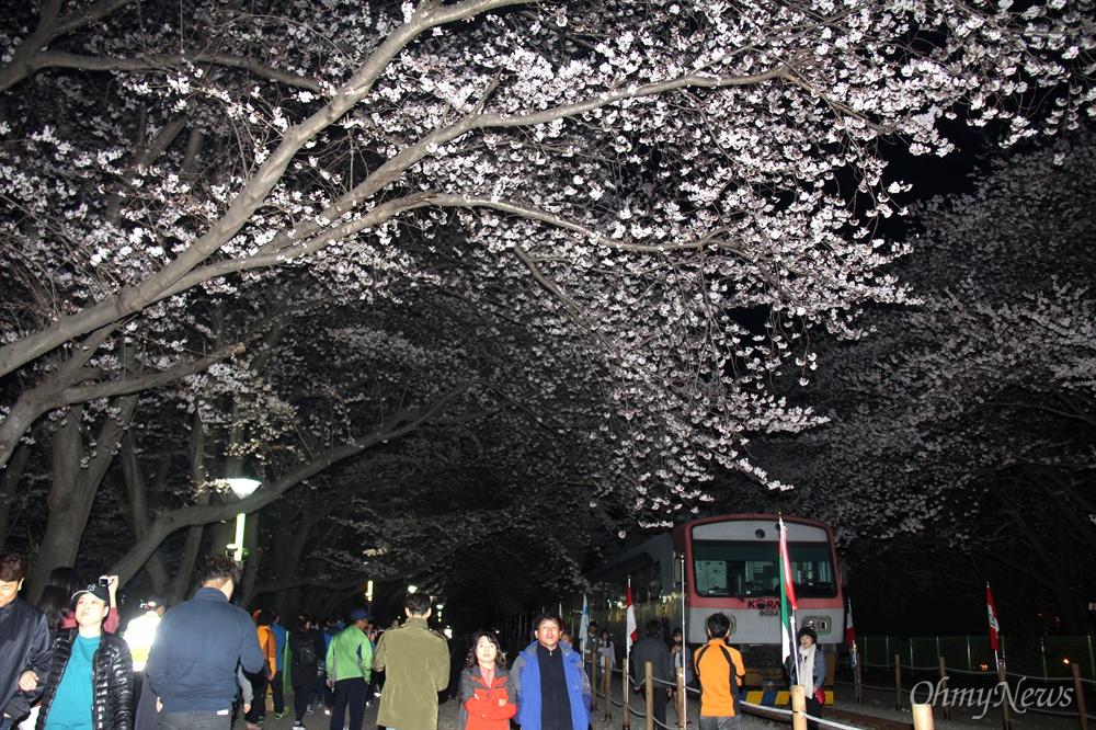1일 밤 진해 경화역 벚꽃.