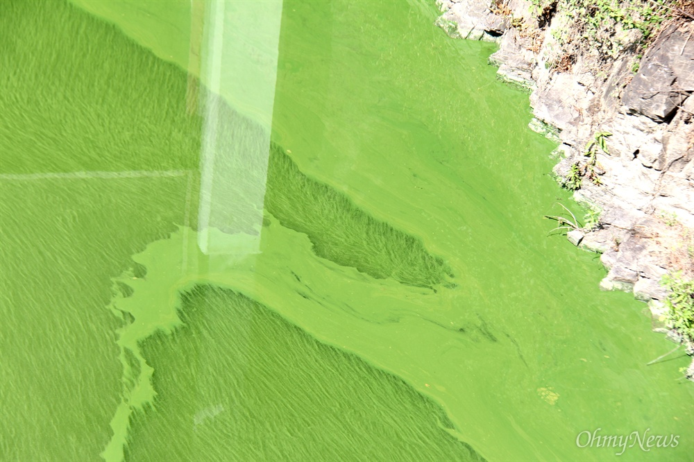 8월 19일 낙동강 좌안 창녕 우강2구 배수문 주변의 녹조.