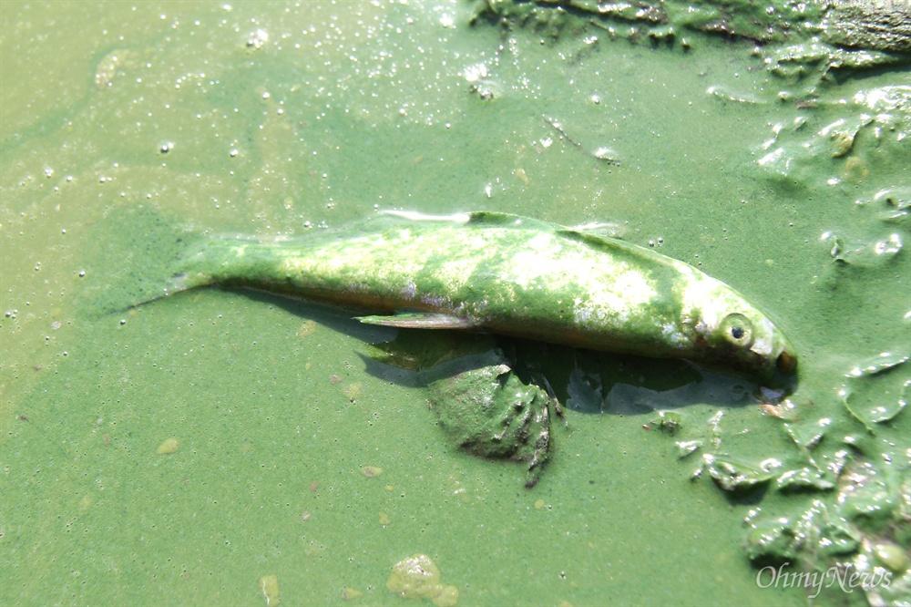 8월 19일 낙동강에 물고기가 녹조를 뒤집어 쓴 채 죽어 있다. 이 물고기는 주변 낙시꾼의 낚시로 잡혔다가 죽은 뒤 녹조를 뒤덮어 쓴 것으로 보인다.