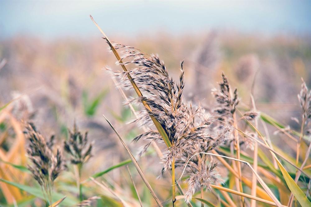 갈대는 억새와 같으면서도 다른 식물이다. 같은 볏과의 한해살이풀이지만 자생지역과 색깔, 키 등이 서로 다르기 때문이다.