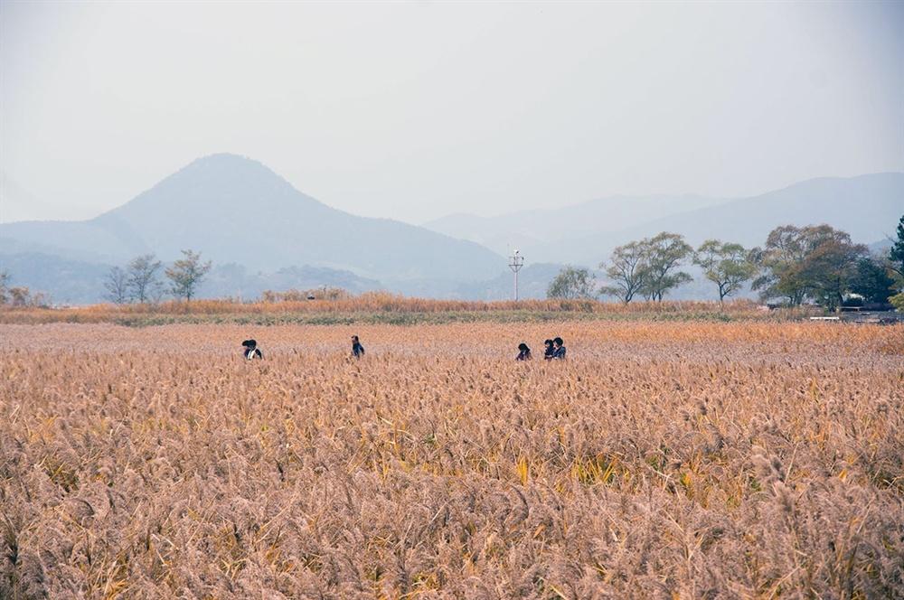 멀리 가까이 점점이 눈에 들어오는 탐방객을 품은 주변 갈대밭은 황매산 억새밭과 마찬가지로 일망무제로 펼쳐지는 메밀밭 같기도 했다.