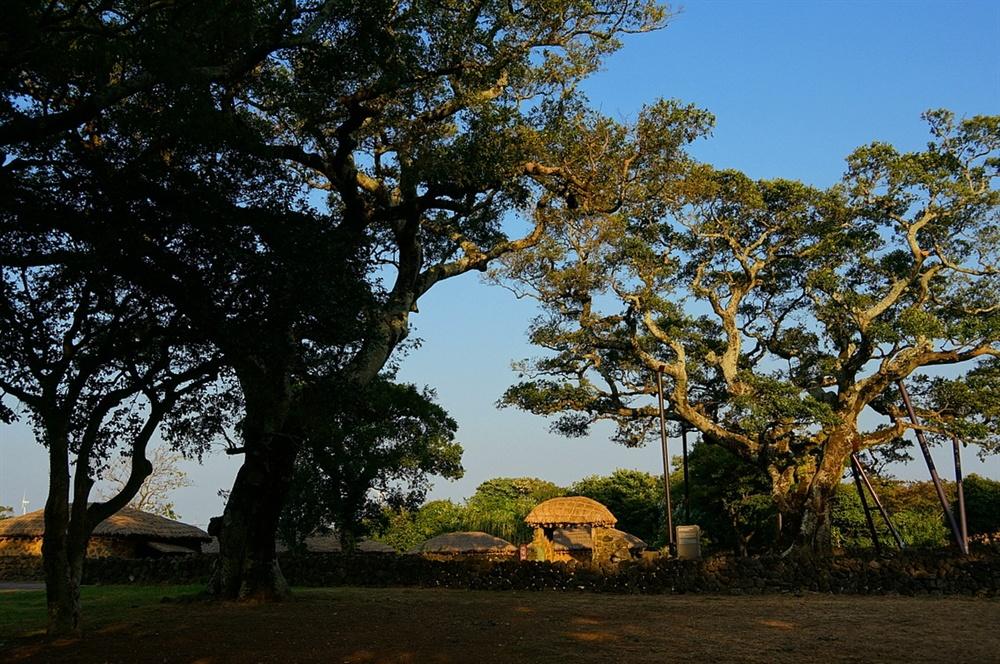 성읍마을 팽나무와 초가  마을 안에는 600년 묵은 팽나무를 비롯하여 여러 팽나무가 자라고 있다. 곁에 둔 1000년 산 느티나무와 어울려 마을의 깊이를 더한다.
