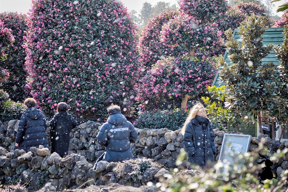위미리 동백식물원 '인생샷'의 성지, 위미 동백군락지다. 지금은 동백식물원으로 불린다.