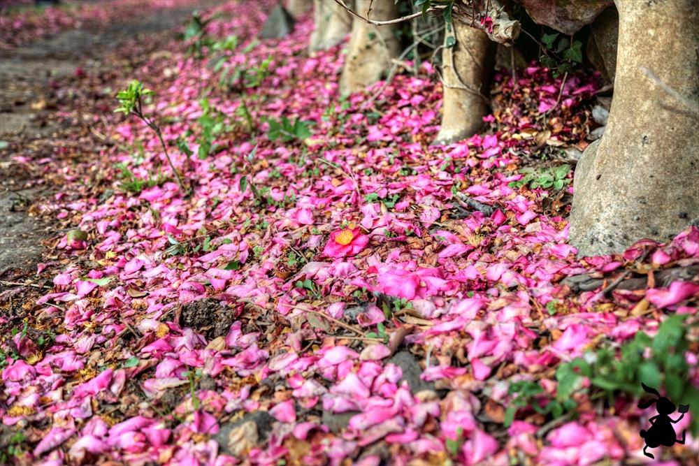 땅에 떨어진 동백꽃 동백은 나무에 핀 목화(木花)일 때도 아름답지만 땅에 떨어진 낙화(落花)일 때 그 찬란함은 이루 말할 수가 없다.