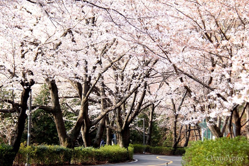 창원진해 안민고개 벚꽃.