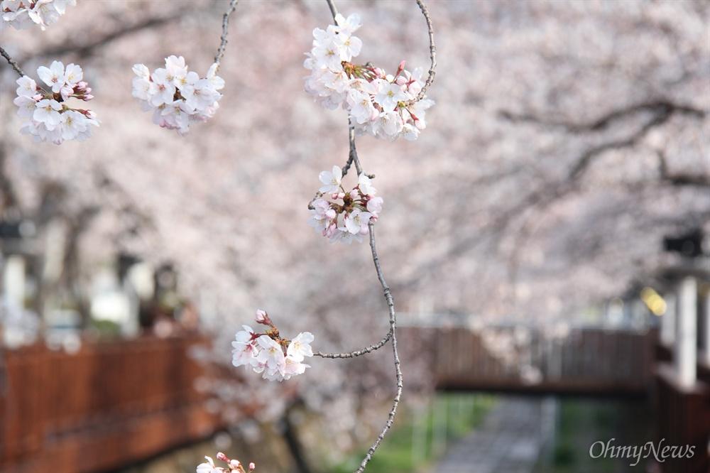 창원진해 여좌천 로망스다리의 벚꽃.