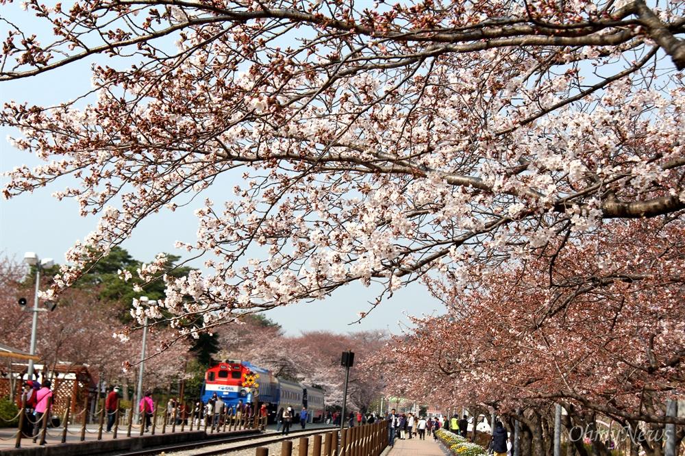 창원진해 경화역 공원의 벚꽃.