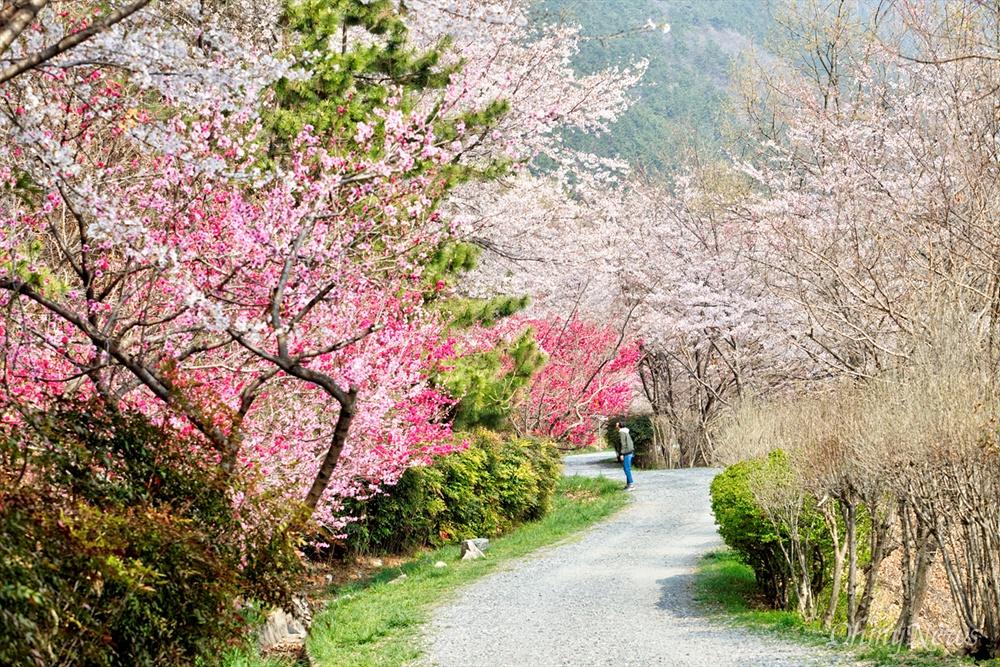벚꽃 길을 따라 걷는 진해드림로드. 살굿빛 물든 임도길은 울긋불긋 꽃대궐을 이루고 있다.