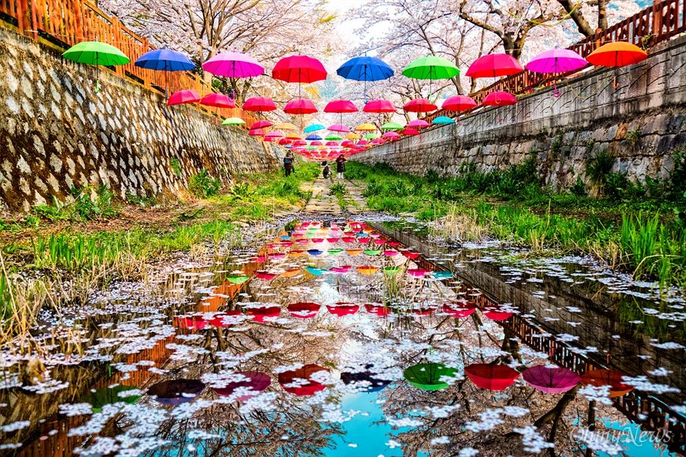 봄볕 넘치는 여좌천의 벚꽃 터널. 벚꽃이 만개한 여좌천은 사랑이 샘솟는 연인뿐만 아니라 친구, 가족과도 걷기 좋은 곳이다. 벚꽃아래 개천 변에 장식해 놓은 우산 장식이 물에 투영돼 빛난다.