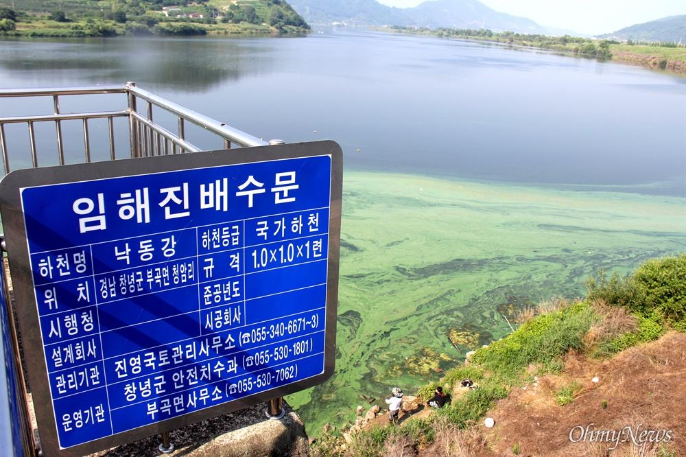 7월 6일 낙동강 임해진(창녕) 쪽에 발생한 녹조.