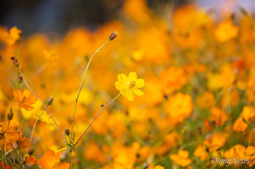 가을이 깊어가는 17일 오후 경기도 남양주 물의정원에 황화코스모스가 가득 펼쳐져 있다.
