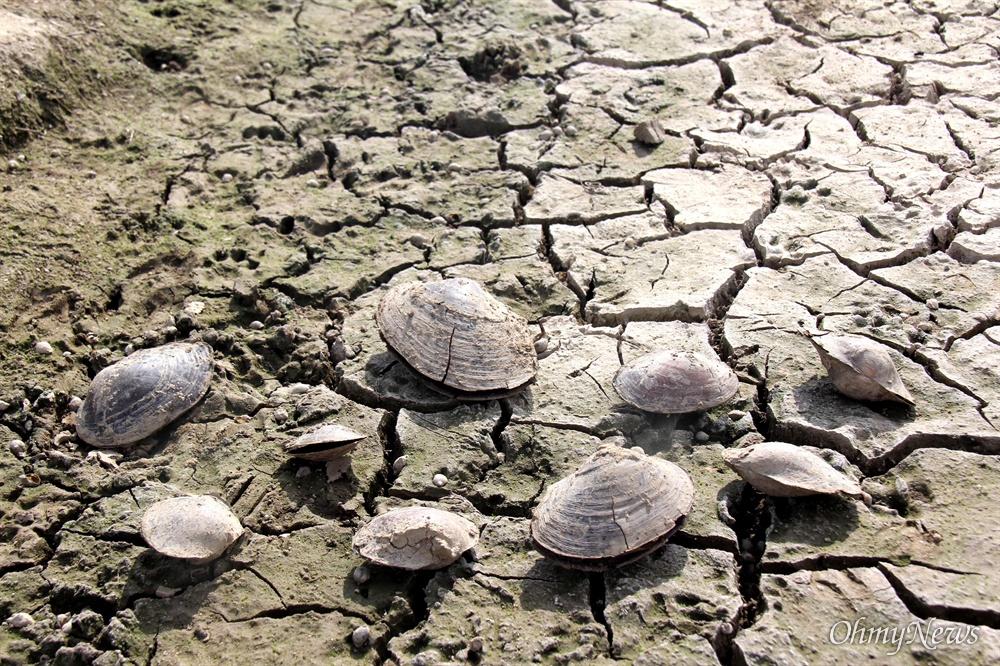 낙동강 창녕함안보의 수위가 낮아지면서 합천창녕보 하류에 있는 바닥에 물이 빠지면서 펄조개 10여마리가 죽은 채 발견되었다.