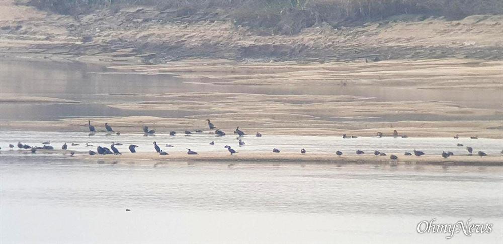11월 2일, 낙동강 창녕함안보 상류에 있는 창녕 우강리 쪽(남지 하류)에 넓게 모래톱이 드러나 있고, 많은 새들이 모여 있다.