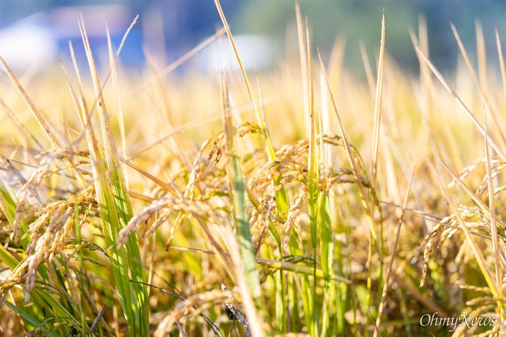 전국 섬 가운데 네 번째로 큰 섬인 강화도는 나지막한 산과 산 사이에 제법 넓은 들판이 있다. 강화도에서 나는 쌀 품종은 대략 세 가지. 일본에서 육종(育種)한 고시히카리, 추청과 국내 육성 품종인 삼광이다.