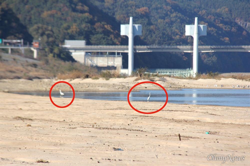 11월 9일 오후 낙동강 합천창녕보 하류 모래톱에 백로 2마리가 노닐고 있다.