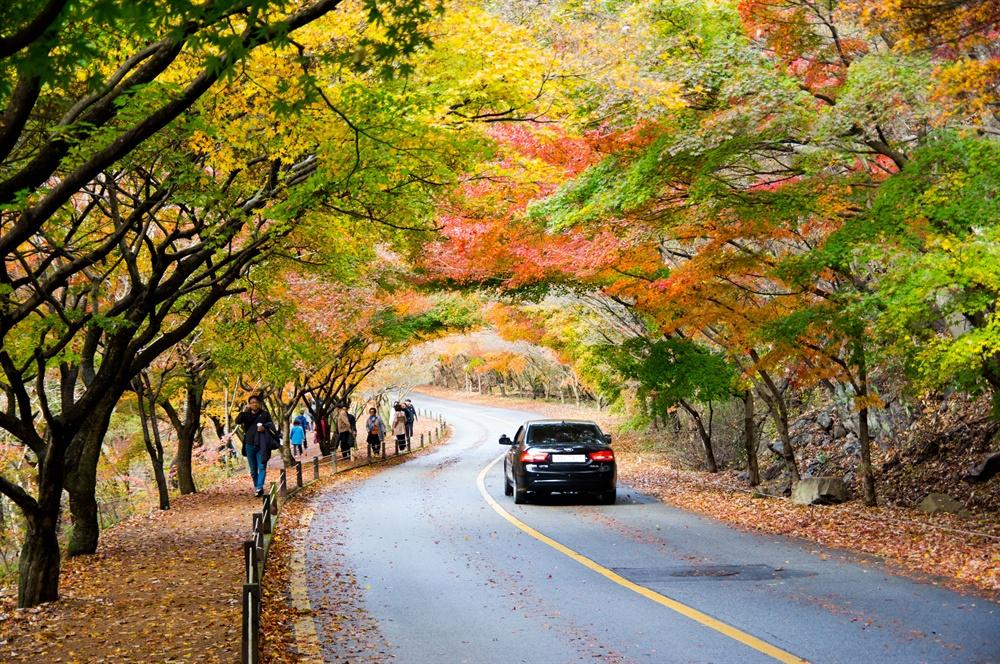 내장산의 단풍나무는 한국 자생의 단풍나무 중 당단풍과 좁은단풍·털참단풍·고로쇠·왕고로쇠·신나무· 복자기 등 11종, 저마다의 빛깔로 깊어가는 가을을 드러낸다.