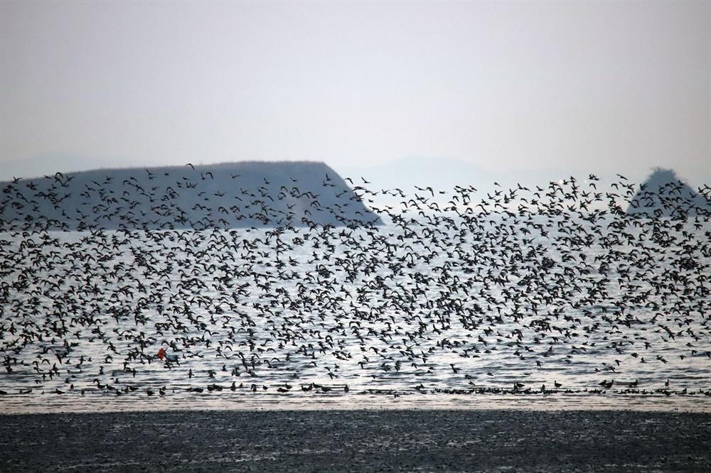 주한미군 공군사격장 해상타깃이었던 매향리 농섬 배경 붉은어깨도요 3만 5천 마리 관찰.