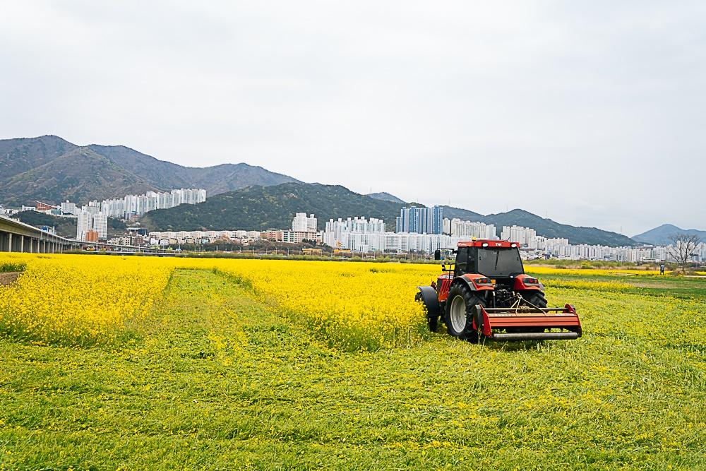 코로나19로 인한 사회적 거리두기에도 부산 대저생태공원에 상춘객이 몰리자 부산시가 결국 파쇄를 결정했다. 10일 트랙터가 투입돼 유채꽃밭을 갈아엎고 있는 모습.