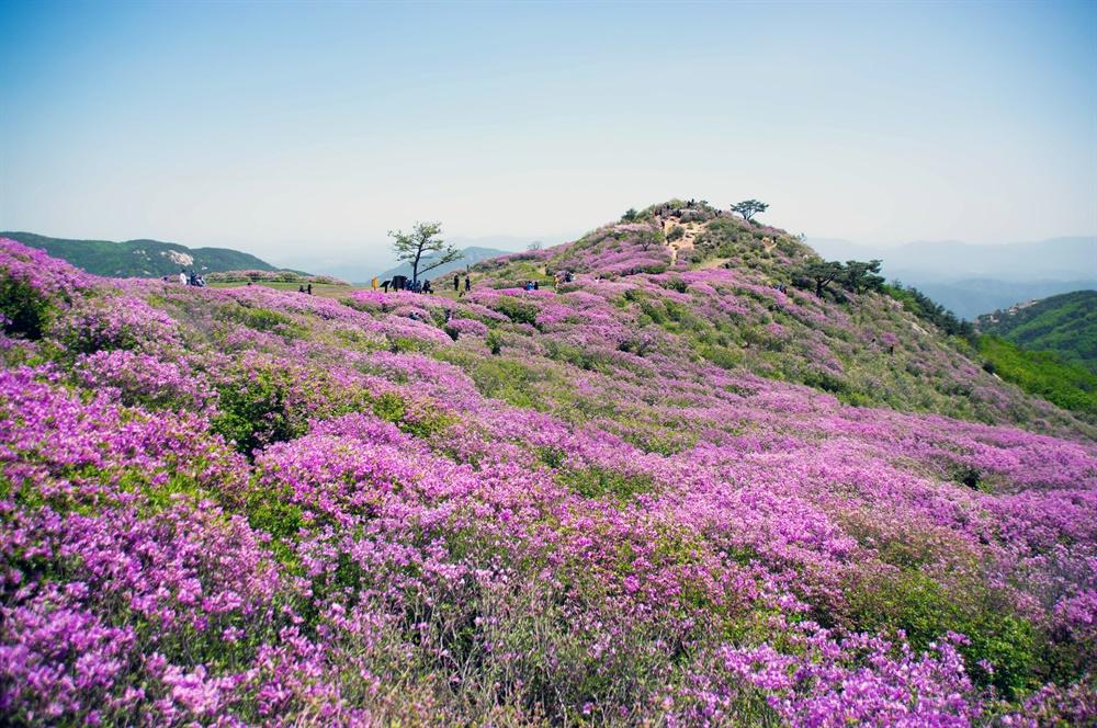 황매산 철쭉 군락지는 정상 왼쪽 산등성이를 진홍빛 물결로 넘실대게 한다.