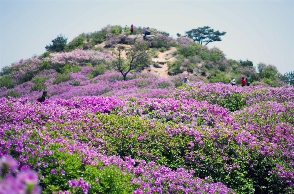 황매산 철쭉 물결. 그 진홍빛은 초록과 어우러져 깊어가는 봄의 기세를 더해준다.