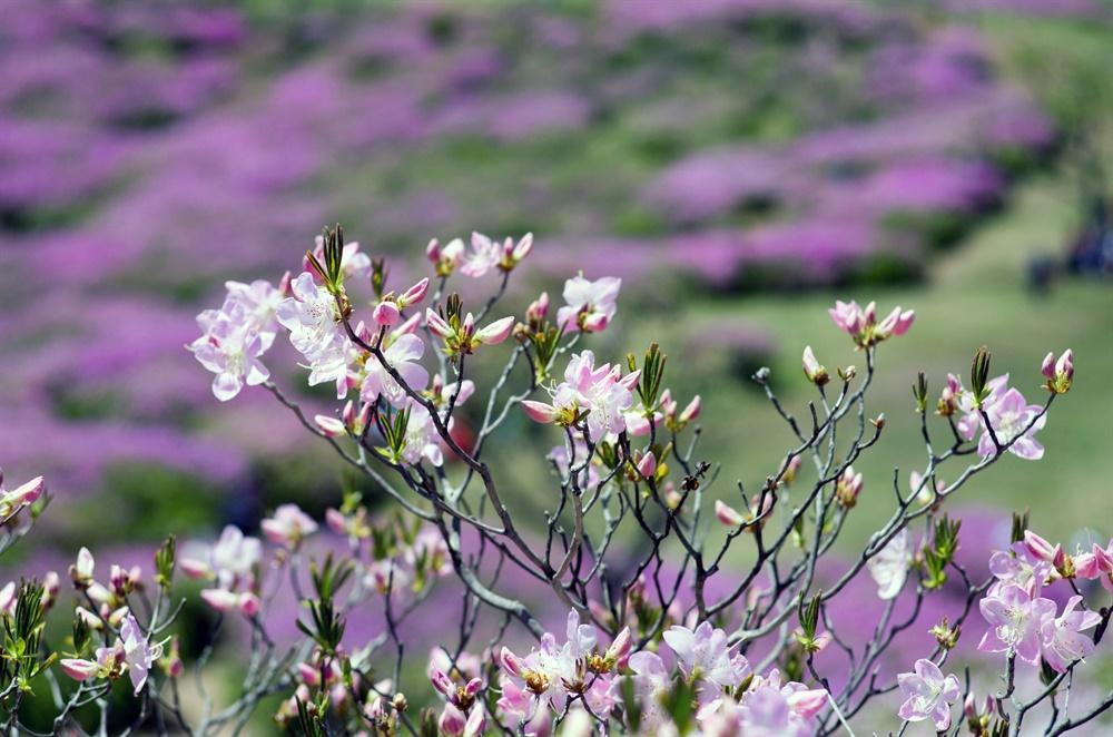경남 합천 황매산은 지리산 바래봉, 소백산과 함께 국내 3대 철쭉군락지를 품은 산이다.