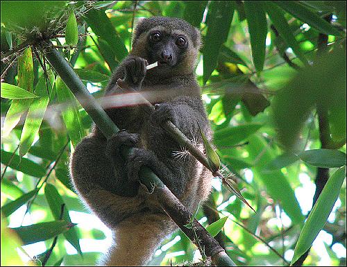 대나무를 먹고 있는 황금대나무여우원숭이